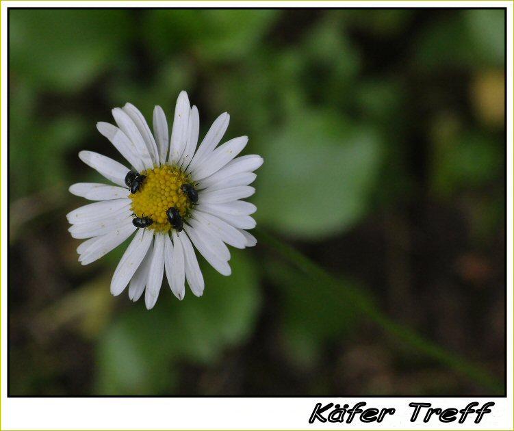Käfer Treff