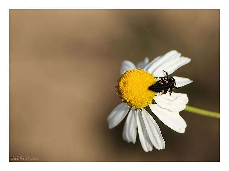 Käferlarve auf Kamille