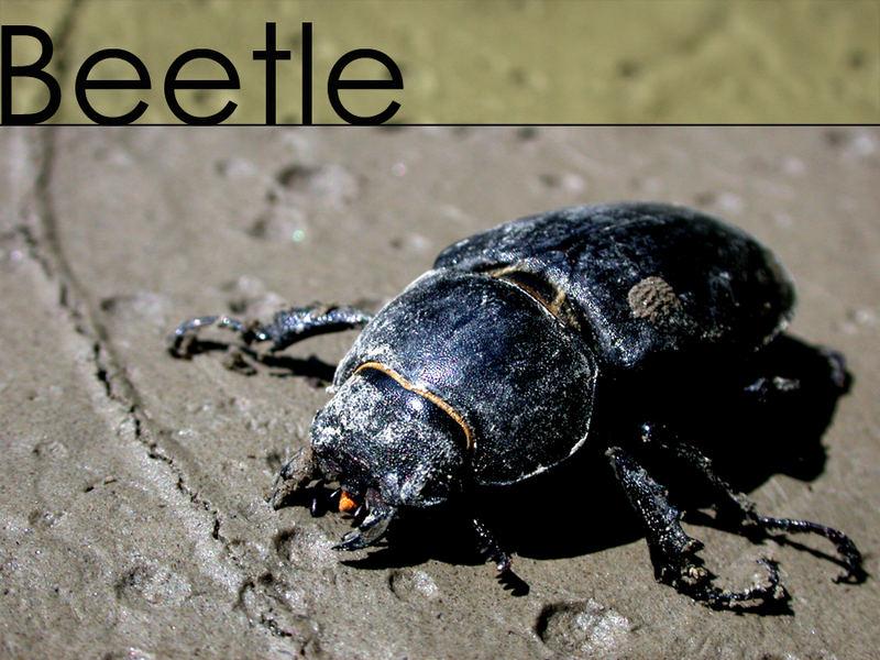 Käferle