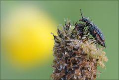 käferli