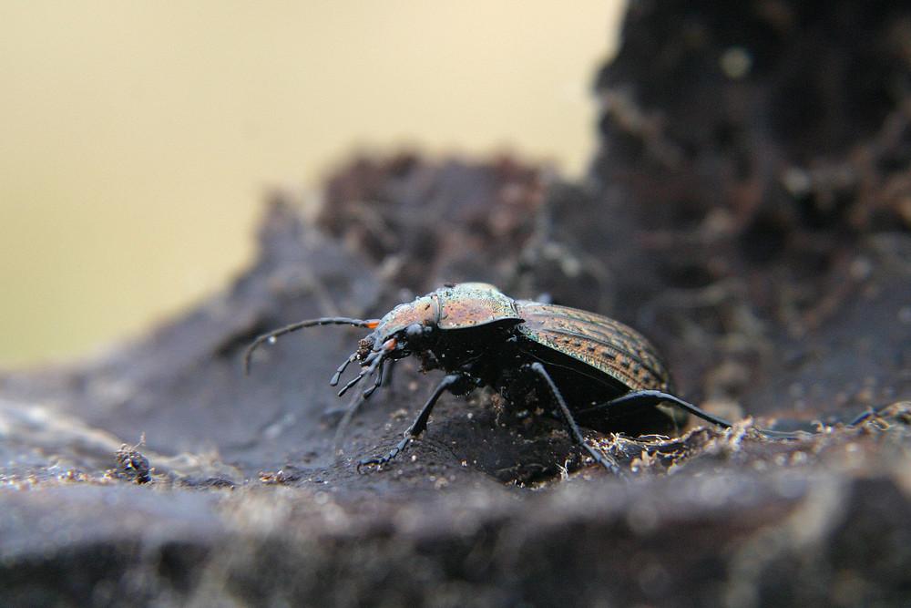 Käferspezialisten, bitte meldet euch! Welcher Laufkäfer ist das aus der Gattung Carabus ?