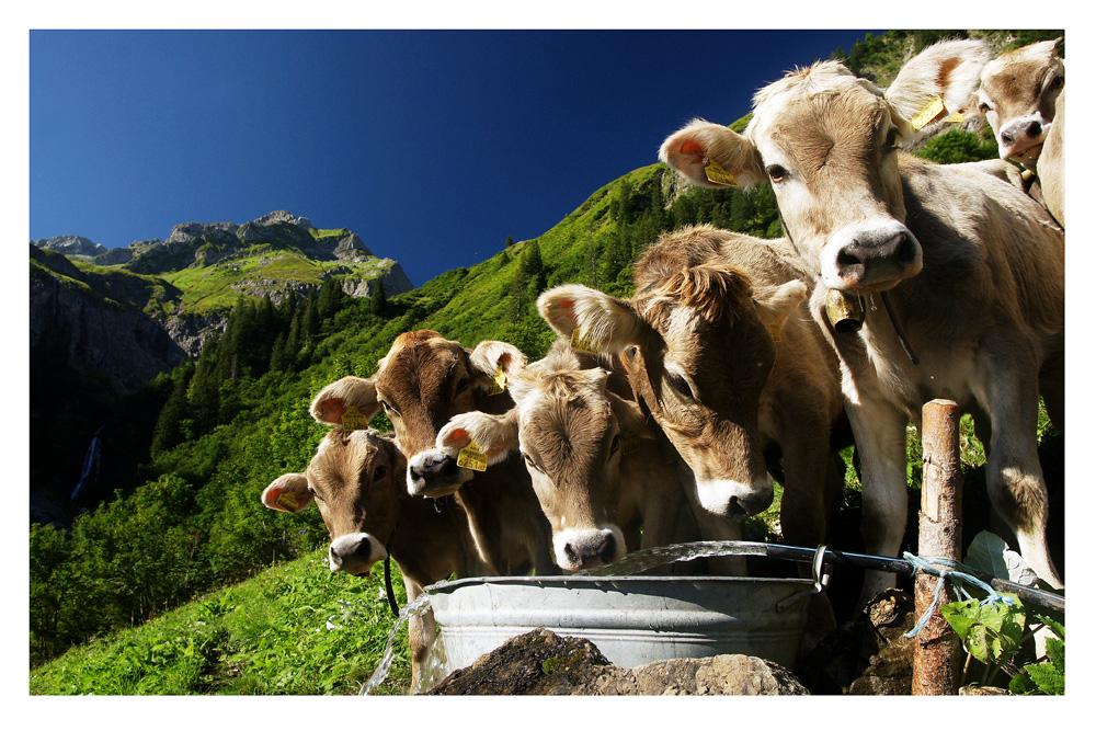 Kälbertränke im Hochgebirge Foto & Bild | landschaft, berge, hütten ...