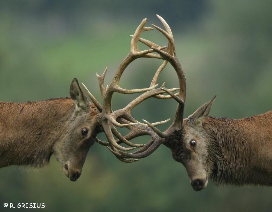 Kämpfende Hirsche