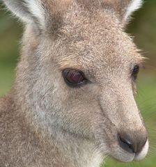 Kängeruh im Australiazoo