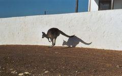 """Känguru """"auf der Flucht"""""""