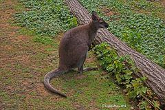 Känguru im Landauer Zoo
