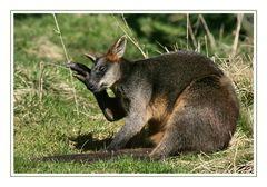 Känguru mit Kopfschmerzen