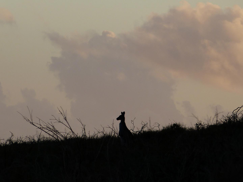 Känguruh - Australien