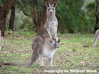 Känguruh mit Nachwuchs