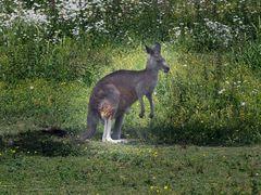 Känguruh (ZOO NEUWIED)