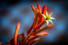 Känguruhpfötchen mit geöffneter Blüte