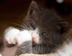Kätzchenwäsche