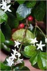 Kaffeeblüte
