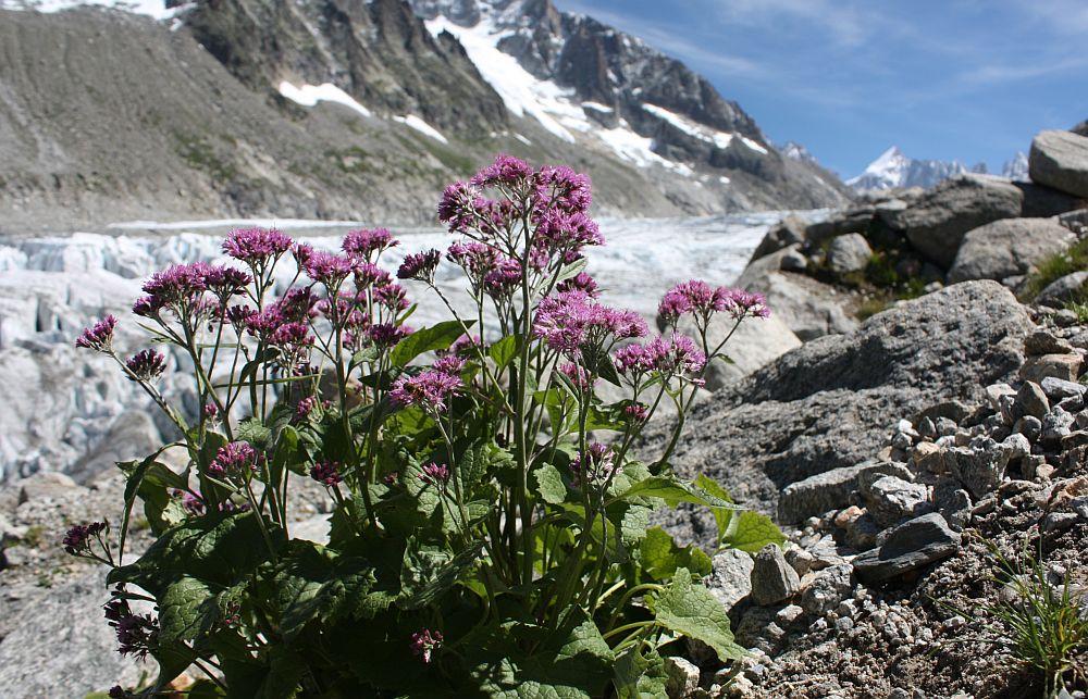 Kahler Alpendost (Adenostyles alpina)...