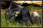 Kahuzi-Biega - Der Schnüffler