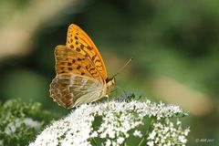 Kaisermantel (Argynnis paphia)