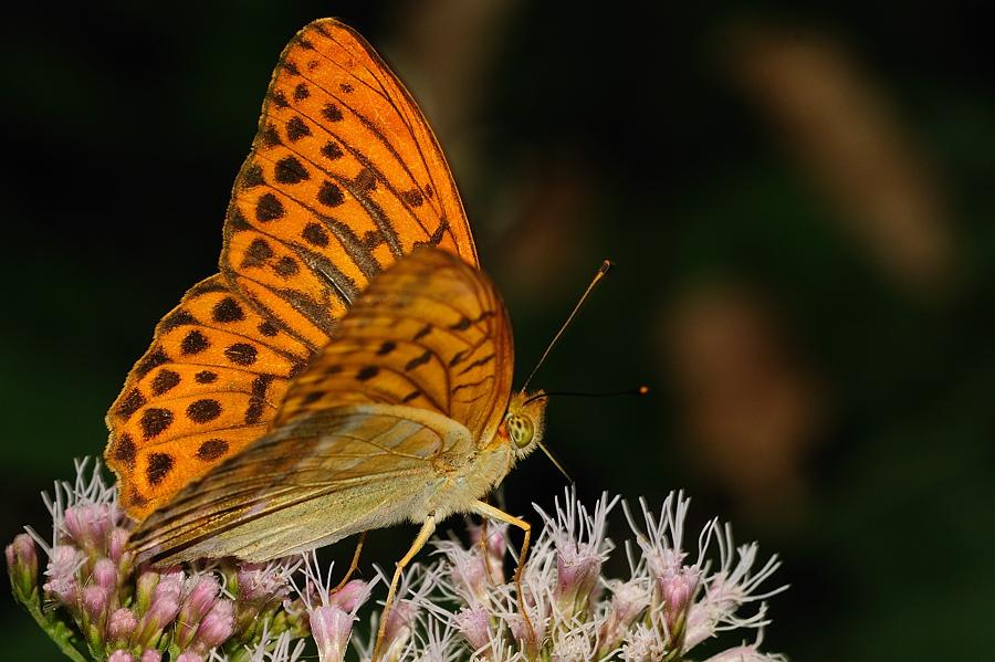 Kaisermantel ((Argynnis paphia)