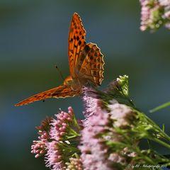 Kaisermantel - Argynnis paphia