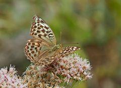 Kaisermantel, Argynnis paphia f. valesina. - Le Tabac d'Espagne: forme minoritaire valesina.