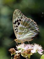 Kaisermantel (Argynnis paphia), Weibchen