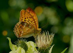 Kaisermantel, Silberstrich (Argynnis paphia) - Tabac d'Espagne.