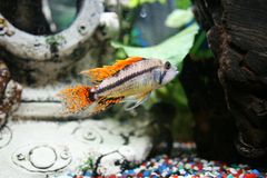 Kakadu-Fisch