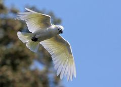 """Kakadu fliegt über """"Norddeutschen Regenwald"""""""