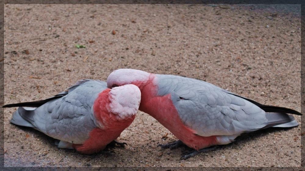Kakadus in love
