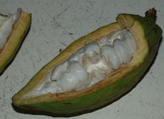 Kakao direkt vom Baum