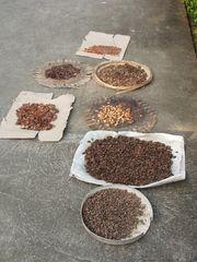 Kakao zum Trocknen ausgelegt