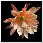 Kakteen Blüte