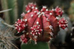 - Kakteenblüten -