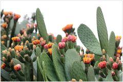 Kaktus-Blüten