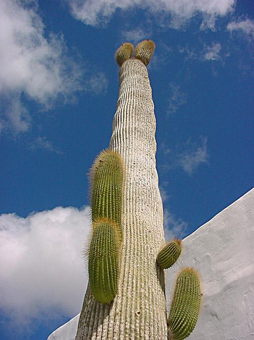 Kaktus Gigantus