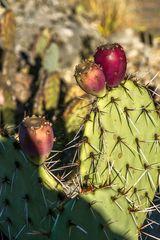 Kaktus im Botanischen Garten