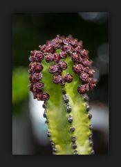 Kaktus - im fc-Rahmen *)