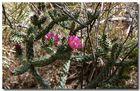Kaktus mit Blüte 2