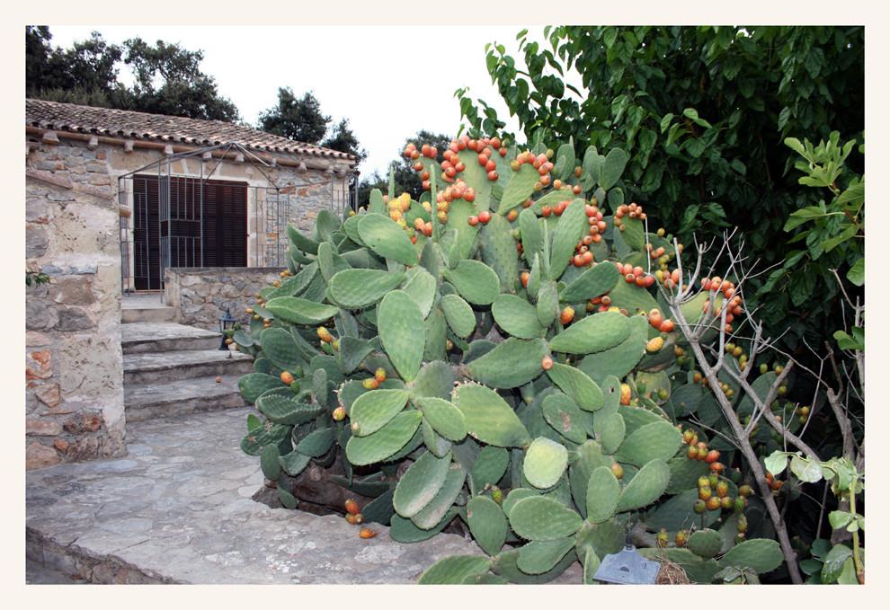 Kaktus mit Früchten