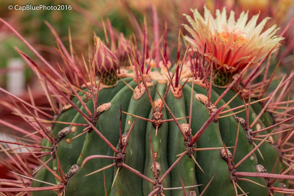 Kaktus mit schöner Blüte (Kakteenland Steinfeld)
