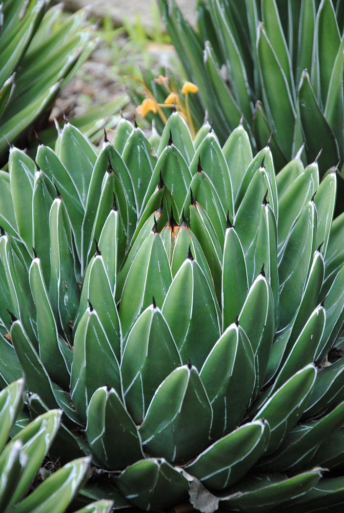 Kaktus (Villa Hanbury - Italien)