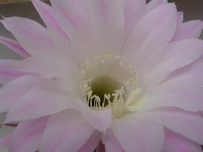 kaktusblüte 2