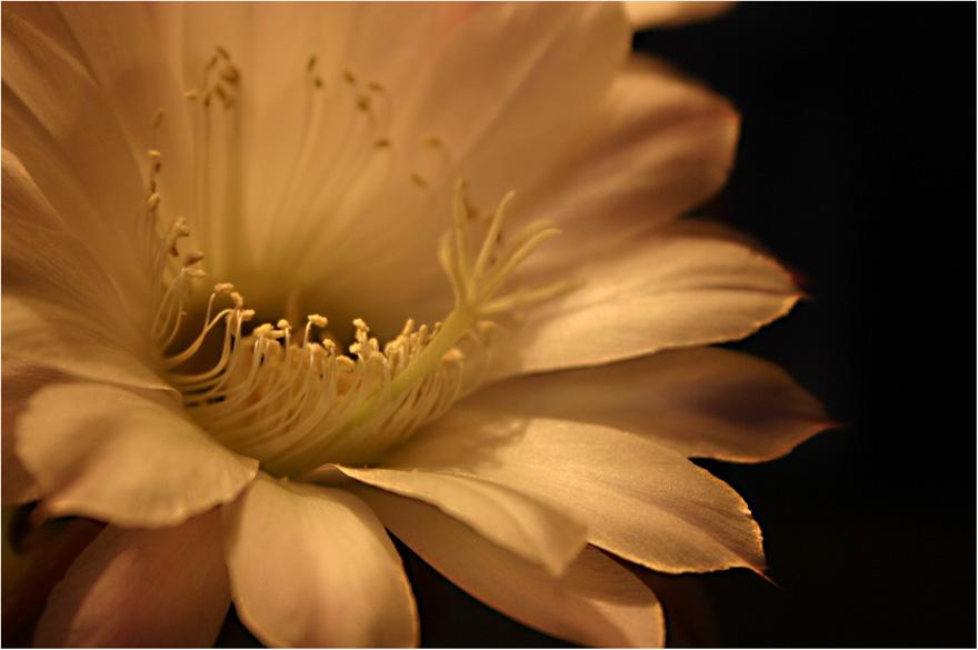 """Kaktusblüte """""""