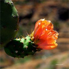 Kaktusblüte auf den Höhen des Teide (Teneriffa)
