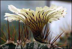 Kaktusblüte..