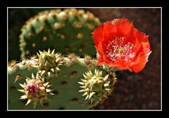 Kaktusblüte in Phoenix/Arizona