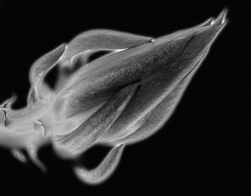 Kaktusblüte in schwarz-weiss - Bild & Foto von A G. aus 10/05 Erotic ...