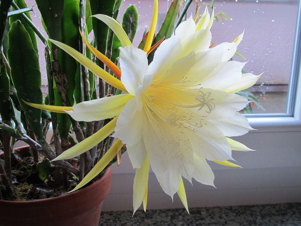 Kaktusblüte Weiß-Gelb Foto & Bild | pflanzen, pilze & flechten ...