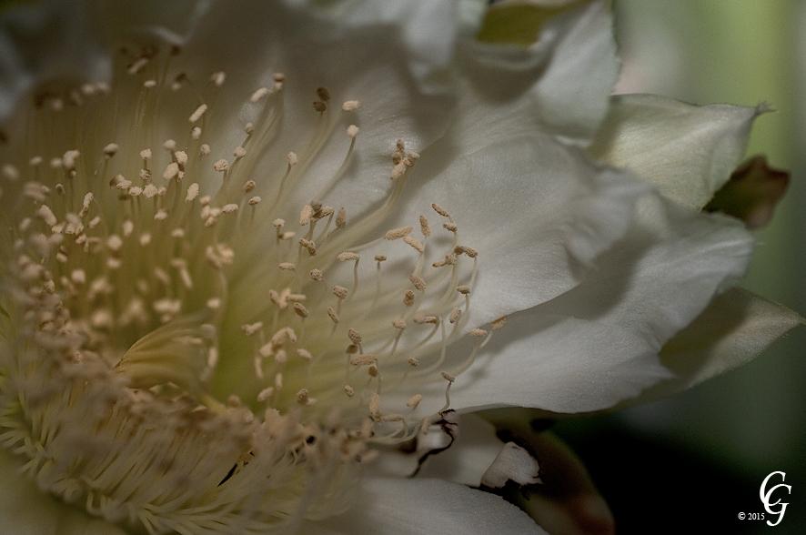 Kaktusblüte weiß, Nachtblüte Foto & Bild | blüten, kakteen, natur ...