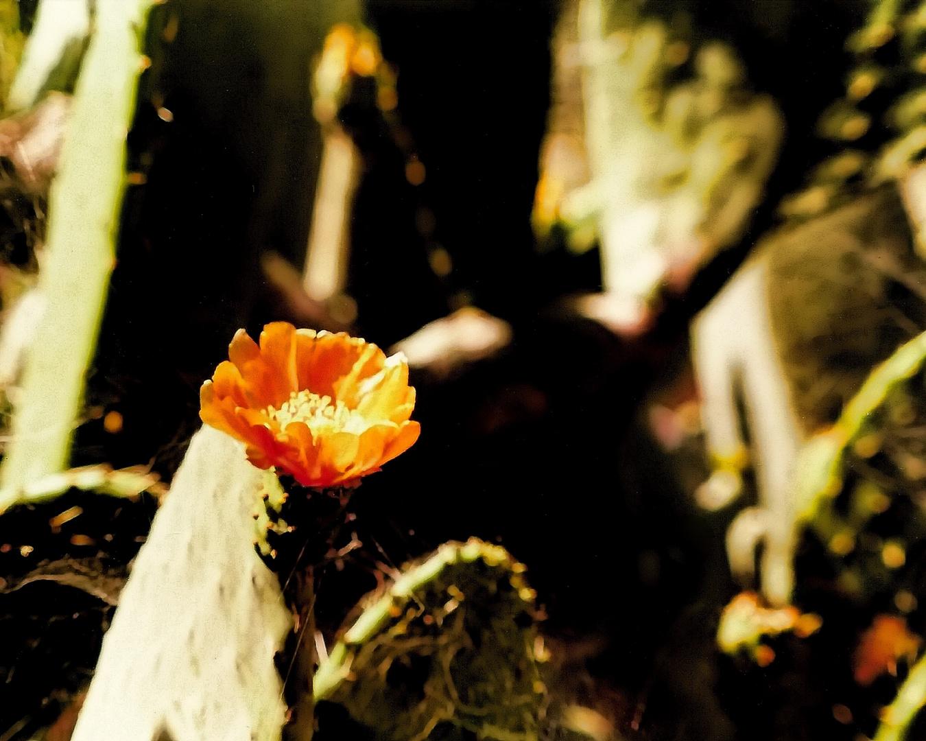 Kaktusblüte02