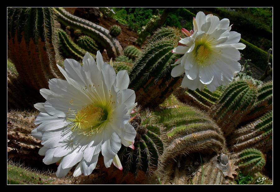 Kaktusblüten ...